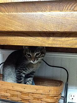 Domestic Shorthair Kitten for adoption in Houston, Texas - Bradley
