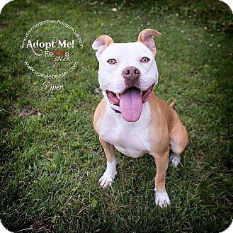 Pit Bull Terrier Mix Dog for adoption in Philadelphia, Pennsylvania - Piper
