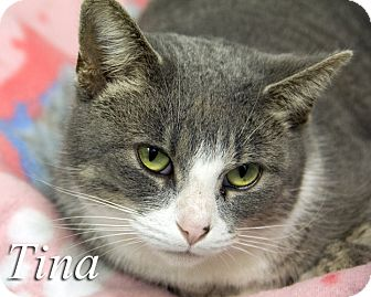 Domestic Shorthair Cat for adoption in Martinsville, Indiana - Tina