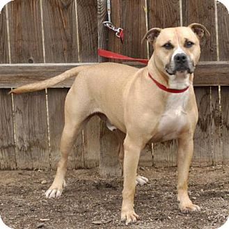 Pit Bull Terrier Mix Dog for adoption in Evans, Colorado - Huck
