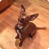 Adopt A Pet :: SIENNA - Gilbert, AZ