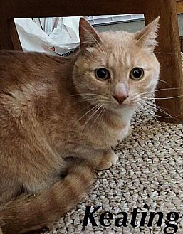 Domestic Shorthair Cat for adoption in Huguenot, New York - Keating