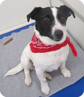 Rat Terrier Mix Dog for adoption in Holton, Kansas - Mikey