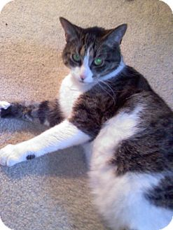 Domestic Shorthair Cat for adoption in Laguna Woods, California - Leo