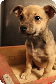 Chihuahua/Terrier (Unknown Type, Small) Mix Puppy for adoption in Bedminster, New Jersey - Diego