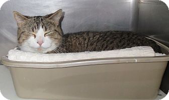 Domestic Shorthair Cat for adoption in Geneseo, Illinois - Bella