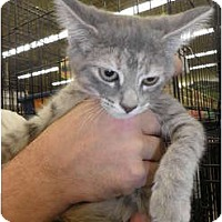 Adopt A Pet :: Dazzle - Warren, MI