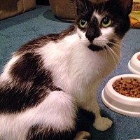 Domestic Shorthair Cat for adoption in Wayne, Pennsylvania - Domino