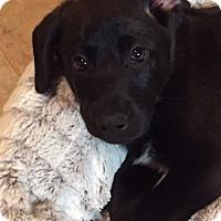 Adopt A Pet :: Blinken - Richmond, VA