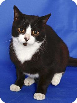 Domestic Shorthair Cat for adoption in Gloucester, Virginia - BOOTS