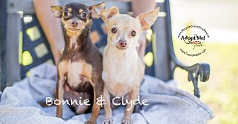 Miniature Pinscher/Chihuahua Mix Dog for adoption in Inland Empire, California - BONNIE