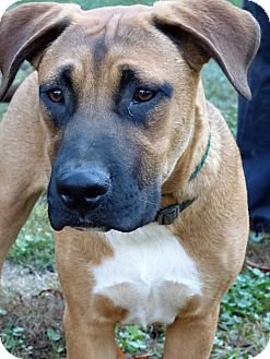 Boxer Mix Dog for adoption in Centerville, Tennessee - Boo
