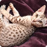 Adopt A Pet :: Kailani - Davis, CA