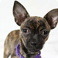 Chihuahua Puppy for adoption in Colorado Springs, Colorado - Lulu