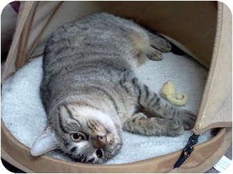 Domestic Shorthair Cat for adoption in Centerburg, Ohio - Meesa
