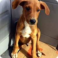 Adopt A Pet :: RED - Inglewood, CA