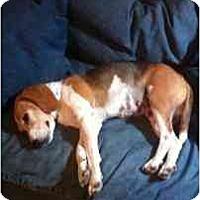 Adopt A Pet :: Daisy Rae - Phoenix, AZ