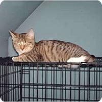 Adopt A Pet :: Munchkin - Hampton, CT