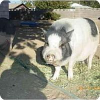 Adopt A Pet :: Sweat Pea - Las Vegas, NV