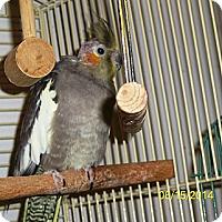Adopt A Pet :: Pixie - Lenexa, KS
