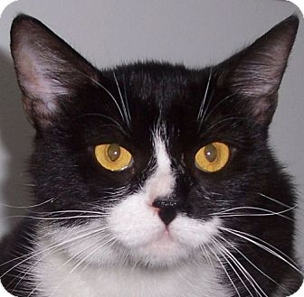 Domestic Shorthair Cat for adoption in Andover, Kansas - Juno