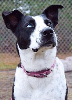 Border Collie/Terrier (Unknown Type, Medium) Mix Dog for adoption in New York, New York - Neida (Westhampton)