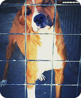 Redbone Coonhound/Labrador Retriever Mix Dog for adoption in Odessa, Texas - Nola