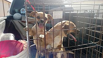 Chihuahua Puppy for adoption in Lucerne Valley, California - Sherman