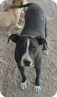 Pit Bull Terrier Mix Dog for adoption in Las Vegas, Nevada - Roxy