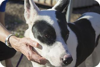 Border Collie/Cattle Dog Mix Dog for adoption in Plano, Texas - Madonna