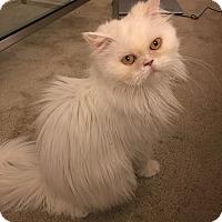 Adopt A Pet :: Bunny - Beverly Hills, CA