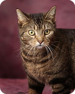 Domestic Shorthair Cat for adoption in Harrisonburg, Virginia - Kitty Ya-meow-guchi