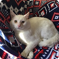 Adopt A Pet :: Mr. Bigglesworth - Addison, IL