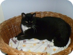 Domestic Shorthair Cat for adoption in Hamburg, New York - Eight Ball