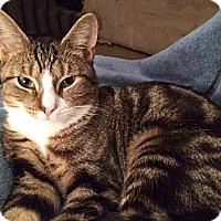 Adopt A Pet :: Pacey - N. Billerica, MA