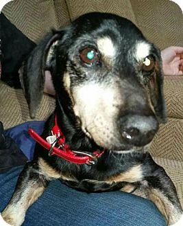 Dachshund Dog for adoption in Dallas, Georgia - Abe Lincoln