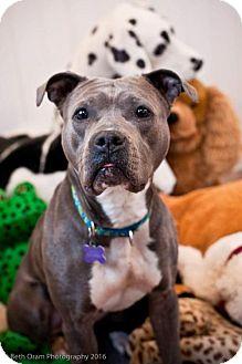 Pit Bull Terrier Mix Dog for adoption in Fulton, Missouri - Mouse *Massachusetts