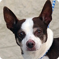 Chihuahua Mix Dog for adoption in Palmdale, California - Sparrow