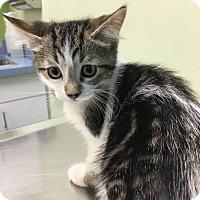 Adopt A Pet :: Georgia O'Kitten - Chicago, IL