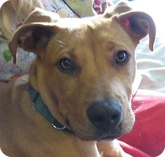 Rhodesian Ridgeback/Labrador Retriever Mix Dog for adoption in St Petersburg, Florida - Gilley!  Puppy