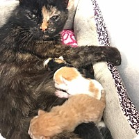 Adopt A Pet :: Brooke - Hartford City, IN