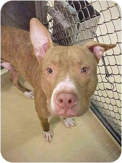 American Pit Bull Terrier Dog for adoption in Emory, Texas - Noah
