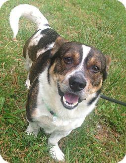 Welsh Corgi/Jack Russell Terrier Mix Dog for adoption in Snohomish, Washington - Dewey little dynamo!
