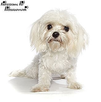 Maltese Puppy for adoption in Fort Lauderdale, Florida - Inky