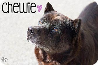 Norwegian Elkhound Mix Dog for adoption in Newport, Kentucky - Chewie