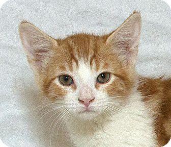 Domestic Shorthair Kitten for adoption in Sacramento, California - Archie M