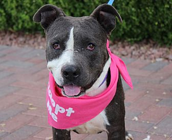 American Pit Bull Terrier Mix Dog for adoption in Las Vegas, Nevada - TENNILLE