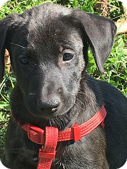 Labrador Retriever/Hound (Unknown Type) Mix Puppy for adoption in Pennigton, New Jersey - Terry
