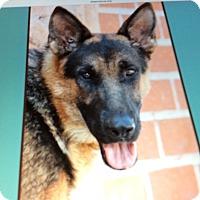 German Shepherd Dog Puppy for adoption in Los Angeles, California - REMY VON RETO