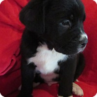 Border Collie/Labrador Retriever Mix Puppy for adoption in Manchester, New Hampshire - Abraham - pending